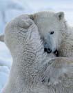 bears_thumb.jpg