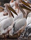 pelicans_thumb.jpg